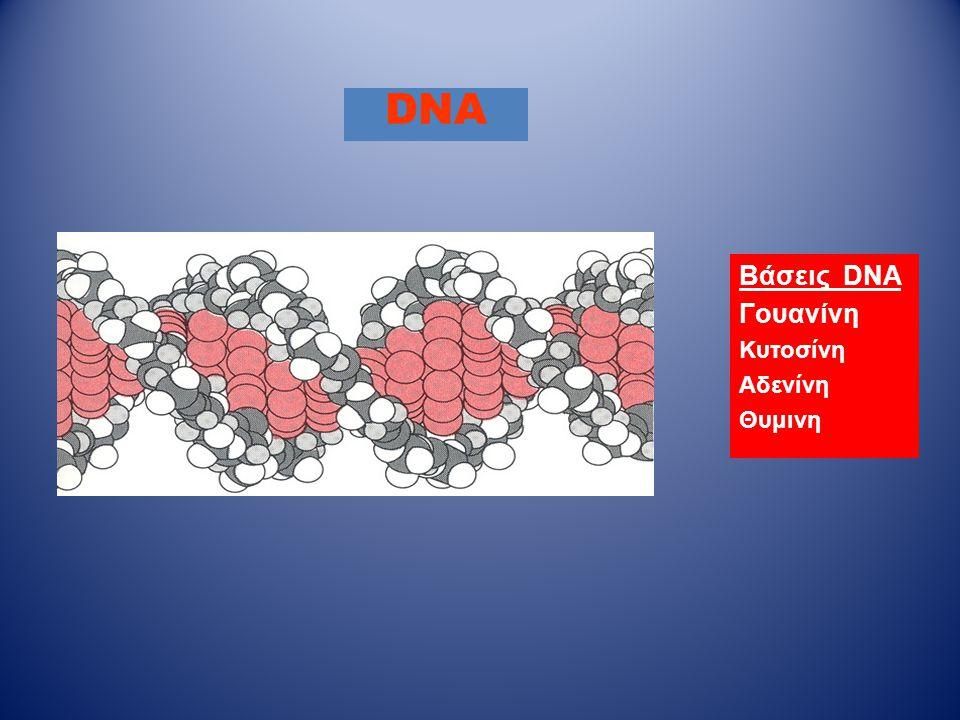 DNA Βάσεις DNA Γουανίνη Κυτοσίνη Αδενίνη Θυμινη
