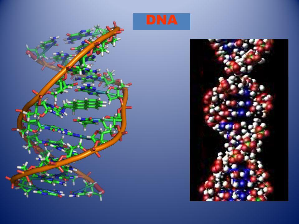 Massanger RNA RNA Πολυμεράση Αναγνωρίζεται το αρχικό γονίδιο στο DNA (promotor) από το RNA και αρχίζει η μεταγραφή, έως το τέλος του γονιδίου(-ων) όπου σταματά η μεταγραφή