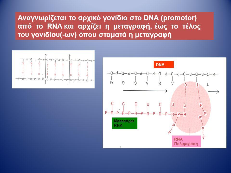 Massanger RNA RNA Πολυμεράση Αναγνωρίζεται το αρχικό γονίδιο στο DNA (promotor) από το RNA και αρχίζει η μεταγραφή, έως το τέλος του γονιδίου(-ων) όπο