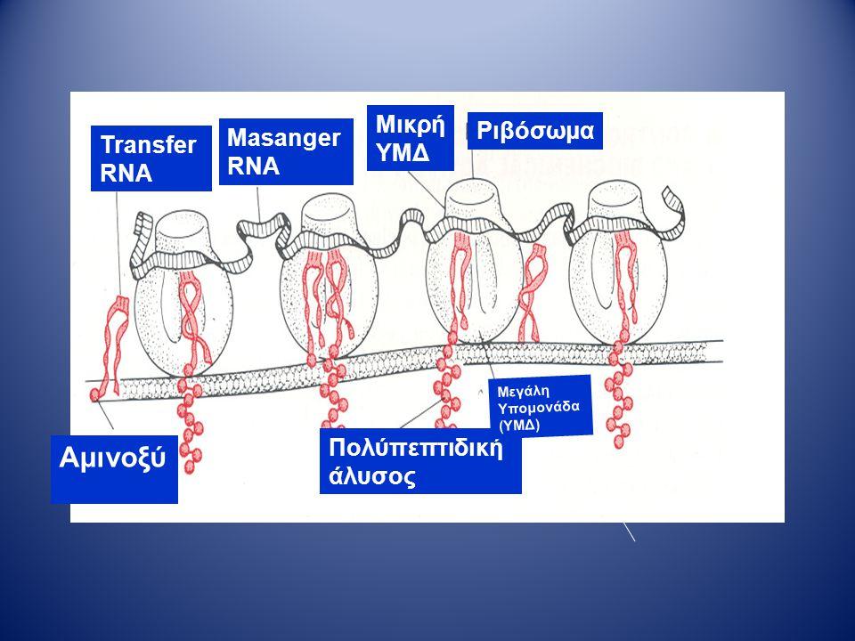Transfer RNA Αμινοξύ α Masanger RNA Ριβόσωμα Πολύπεπτιδική άλυσος Μεγάλη Υπομονάδα (ΥΜΔ) Μικρή ΥΜΔ