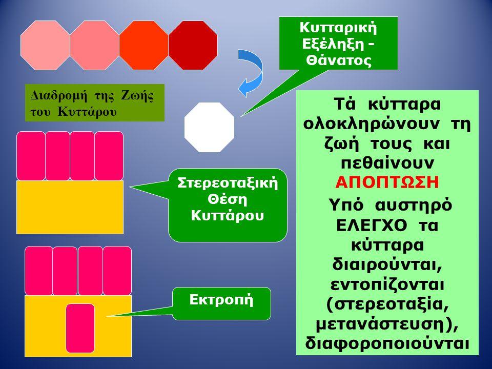 Τά κύτταρα ολοκληρώνουν τη ζωή τους και πεθαίνουν ΑΠΟΠΤΩΣΗ Υπό αυστηρό ΕΛΕΓΧΟ τα κύτταρα διαιρούνται, εντοπίζονται (στερεοταξία, μετανάστευση), διαφορ