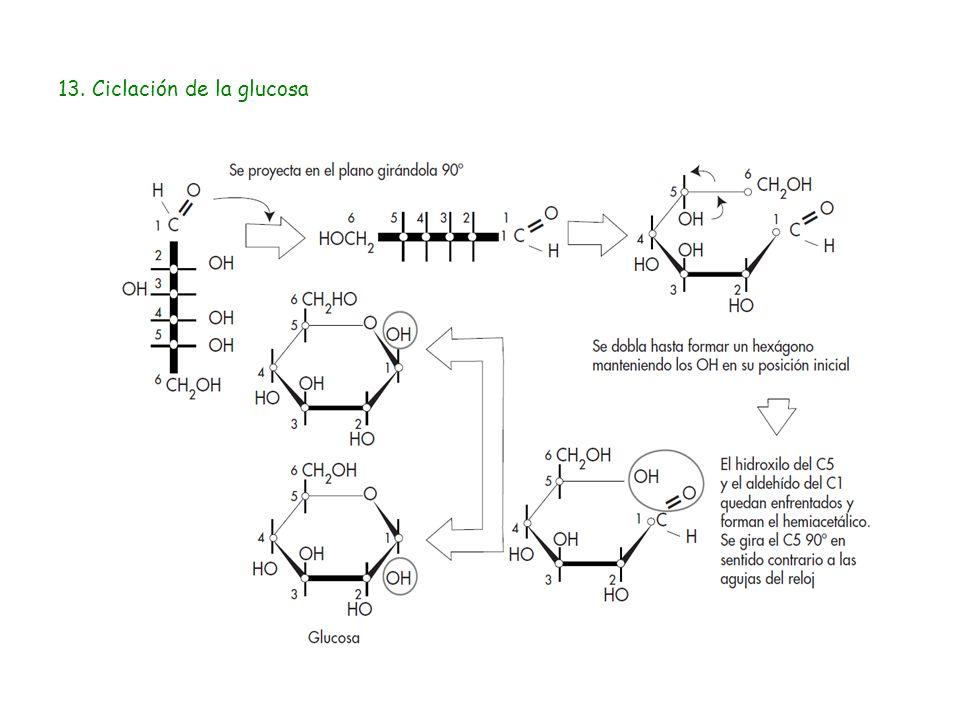 13. Ciclación de la glucosa