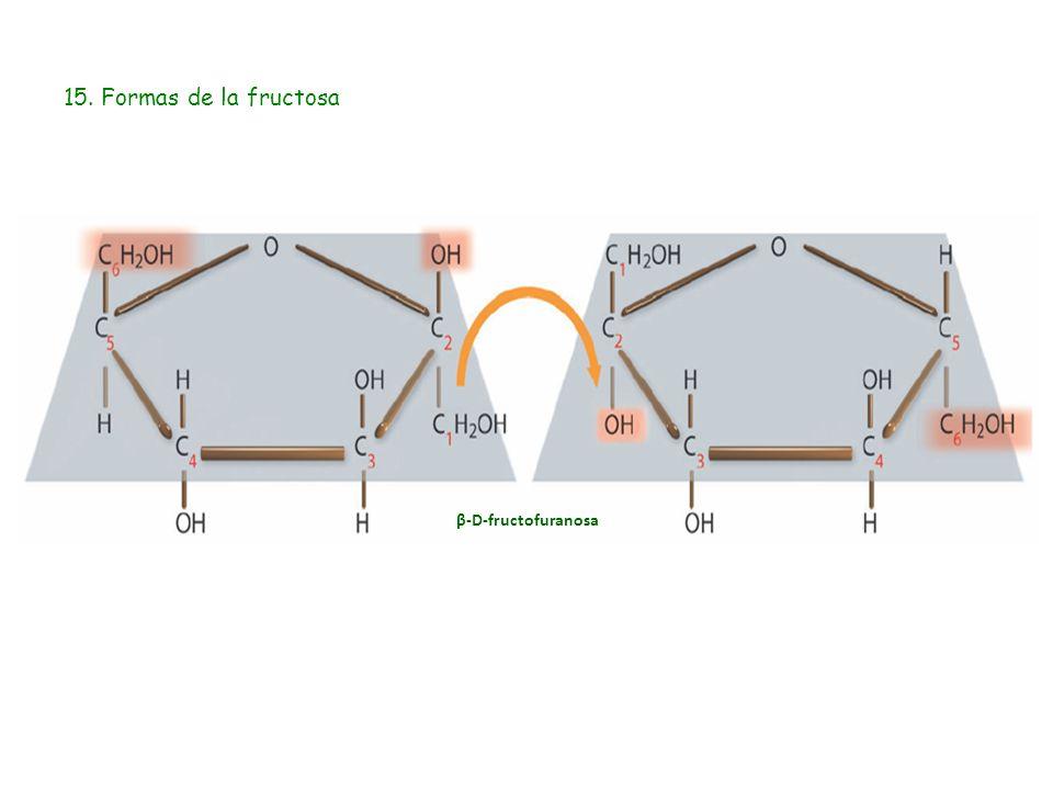 15. Formas de la fructosa β-D-fructofuranosa