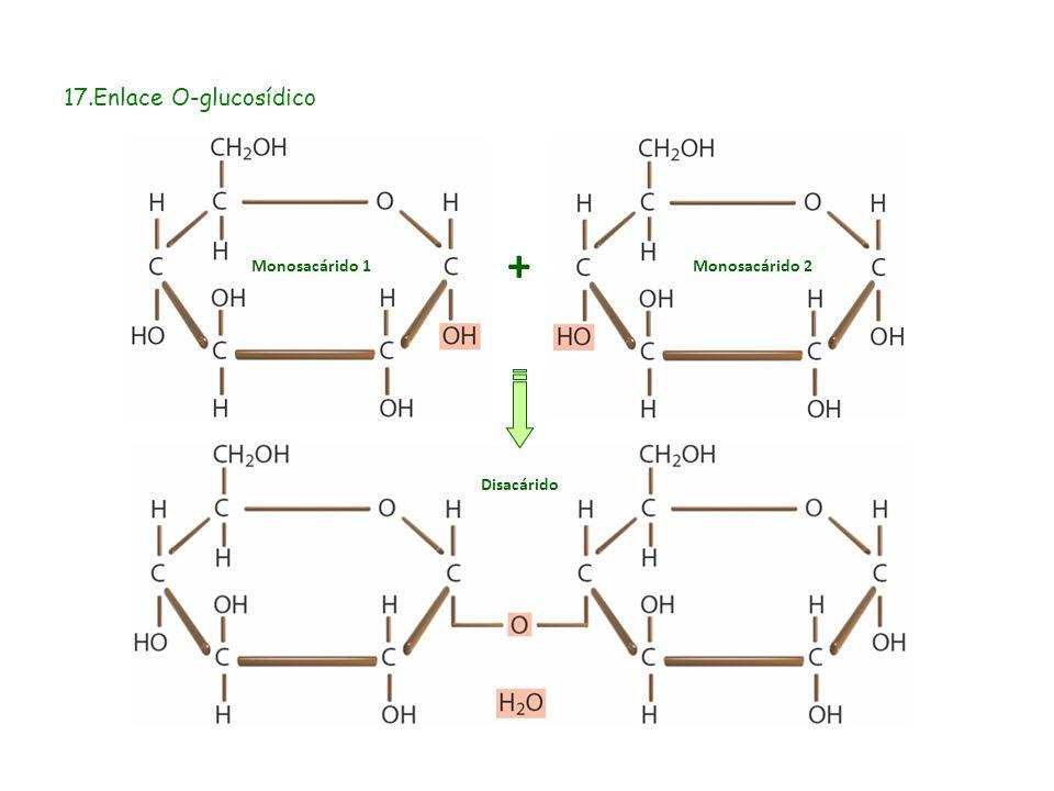 17.Enlace O-glucosídico + Monosacárido 1Monosacárido 2 Disacárido