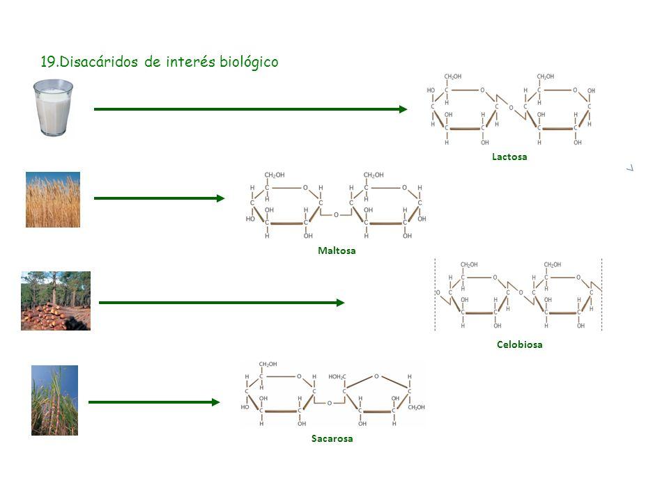 19.Disacáridos de interés biológico Maltosa Sacarosa Lactosa Celobiosa