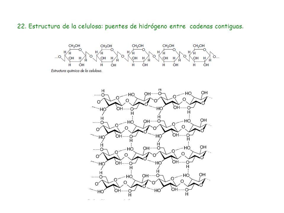 22. Estructura de la celulosa: puentes de hidrógeno entre cadenas contiguas.