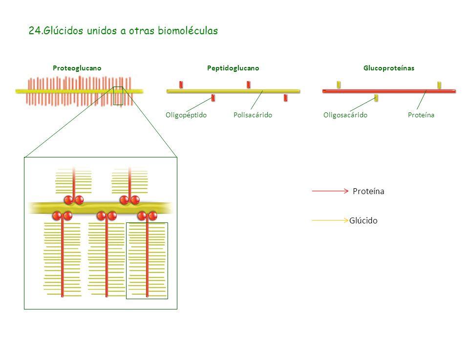 24.Glúcidos unidos a otras biomoléculas Proteína Glúcido GlucoproteínasProteoglucanoPeptidoglucano OligopéptidoPolisacáridoOligosacáridoProteína