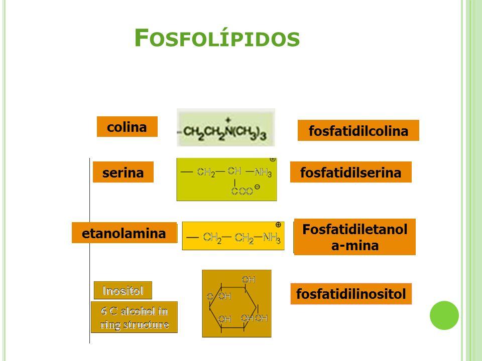 F OSFOLÍPIDOS colina fosfatidilcolina serina etanolamina fosfatidilserina Fosfatidiletanol a-mina fosfatidilinositol
