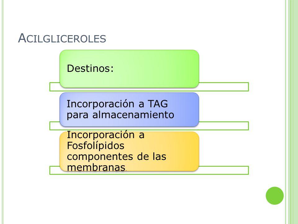 A CILGLICEROLES Destinos: Incorporación a TAG para almacenamiento Incorporación a Fosfolípidos componentes de las membranas.