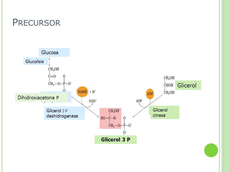 Glucosa Glucolisis Glicerol 3 P Glicerol Glicerol 3 P deshidrogenasa Dihidroxiacetona P Glicerol cinasa P RECURSOR