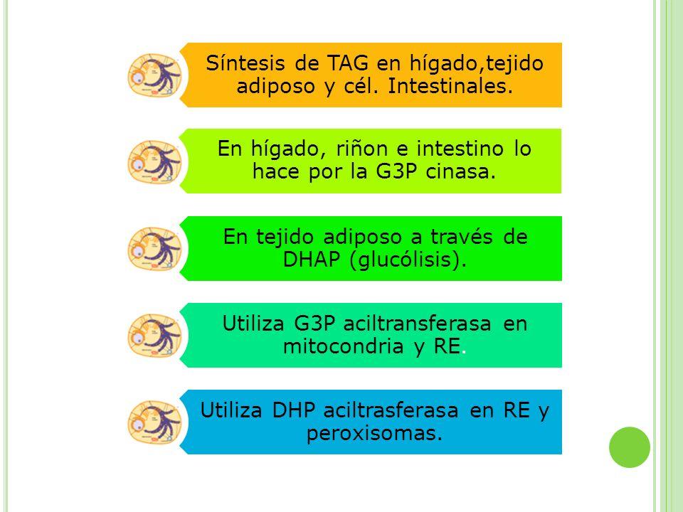 Síntesis de TAG en hígado,tejido adiposo y cél. Intestinales. En hígado, riñon e intestino lo hace por la G3P cinasa. En tejido adiposo a través de DH
