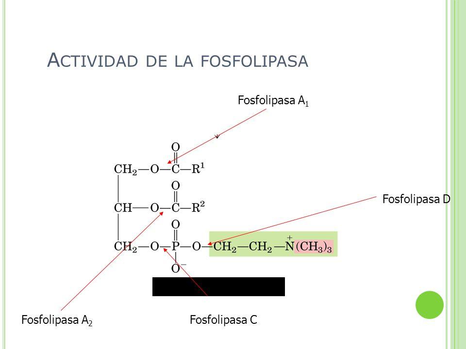 Fosfolipasa A 2 Fosfolipasa A 1 Fosfolipasa C Fosfolipasa D A CTIVIDAD DE LA FOSFOLIPASA