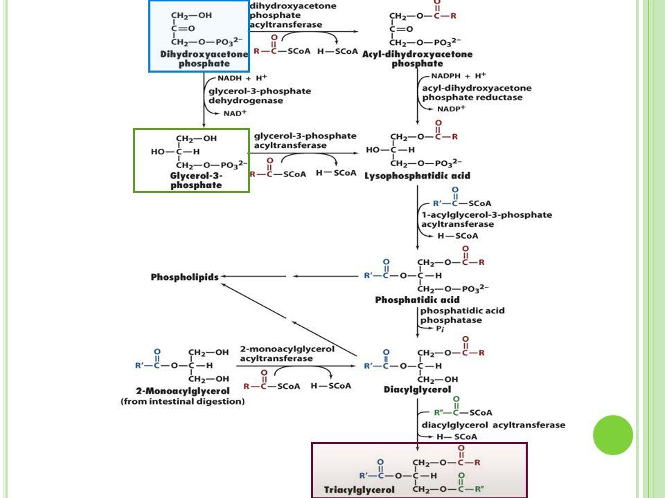 G RUPOS S ANGUÍNEOS En la superficie celular los esfingoglucolípidos participan en procesos de señalización y reconocimiento.