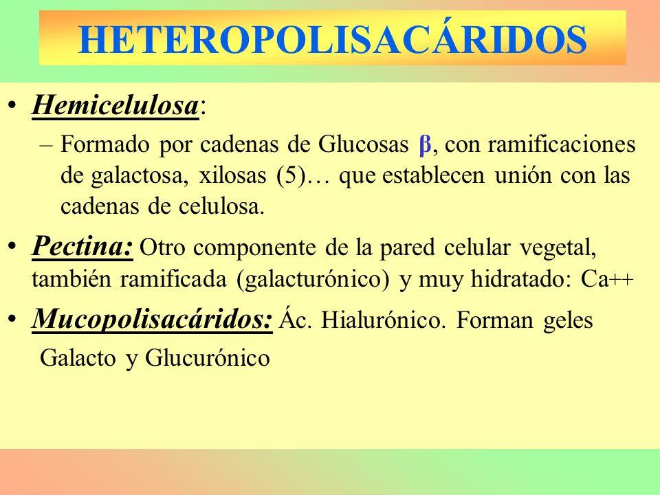 HETEROPOLISACÁRIDOS Hemicelulosa: –Formado por cadenas de Glucosas β, con ramificaciones de galactosa, xilosas (5)… que establecen unión con las caden