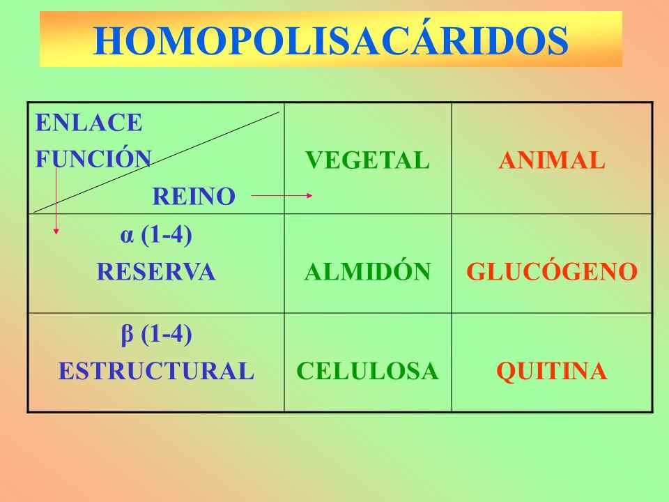 HOMOPOLISACÁRIDOS ENLACE FUNCIÓN REINO VEGETALANIMAL α (1-4) RESERVAALMIDÓNGLUCÓGENO β (1-4) ESTRUCTURALCELULOSAQUITINA