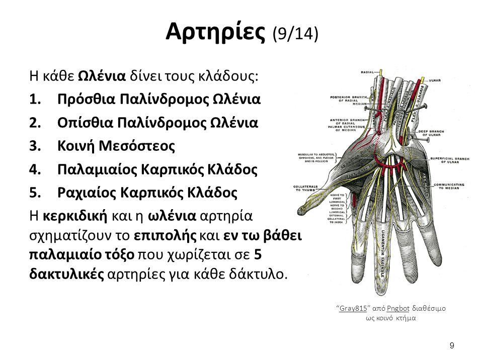 Αρτηρίες (9/14) Η κάθε Ωλένια δίνει τους κλάδους: 1.Πρόσθια Παλίνδρομος Ωλένια 2.Οπίσθια Παλίνδρομος Ωλένια 3.Κοινή Μεσόστεος 4.Παλαμιαίος Καρπικός Κλάδος 5.Ραχιαίος Καρπικός Κλάδος Η κερκιδική και η ωλένια αρτηρία σχηματίζουν το επιπολής και εν τω βάθει παλαμιαίο τόξο που χωρίζεται σε 5 δακτυλικές αρτηρίες για κάθε δάκτυλο.