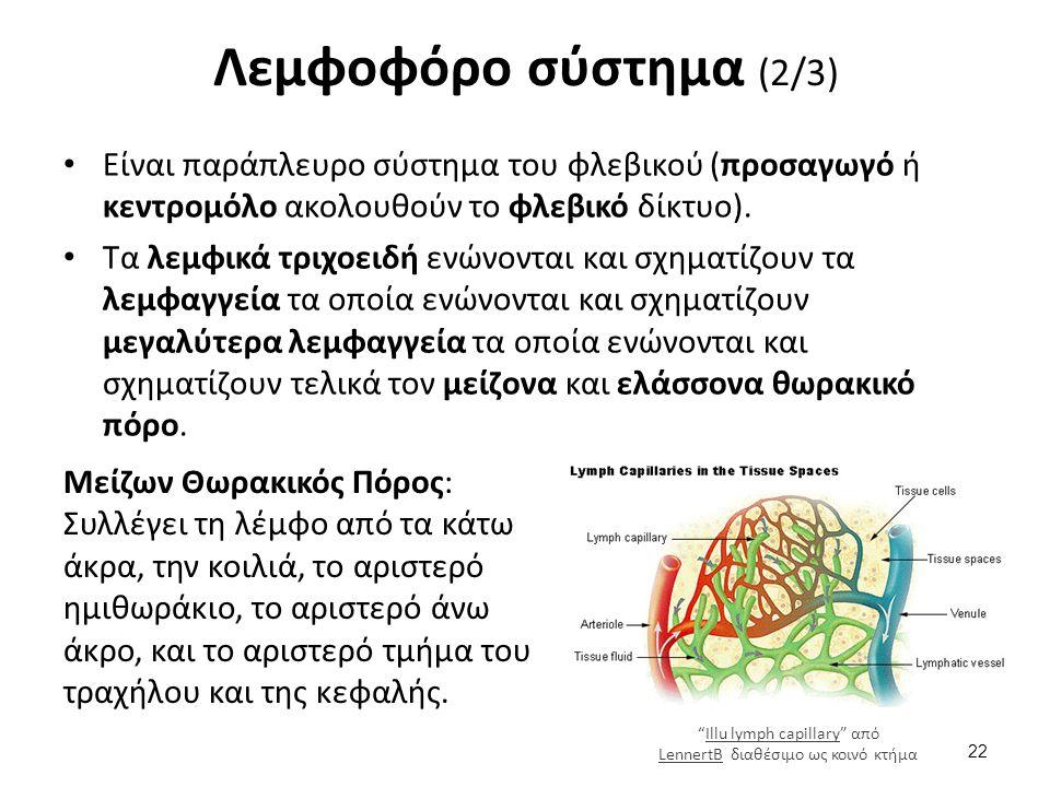 Λεμφοφόρο σύστημα (2/3) Είναι παράπλευρο σύστημα του φλεβικού (προσαγωγό ή κεντρομόλο ακολουθούν το φλεβικό δίκτυο).