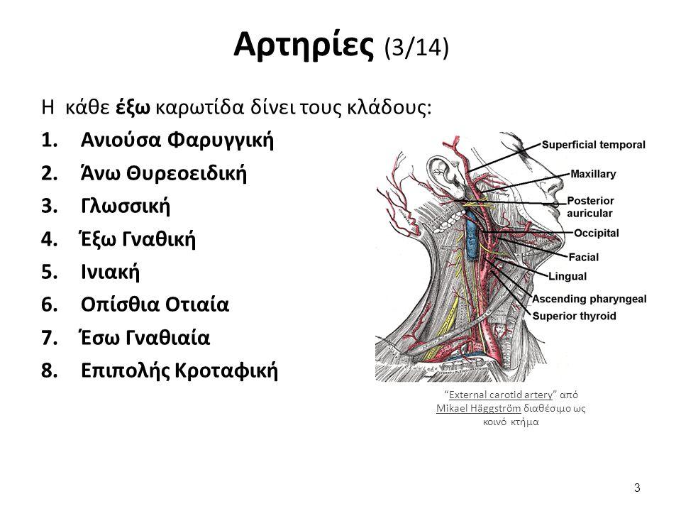Αρτηρίες (3/14) Η κάθε έξω καρωτίδα δίνει τους κλάδους: 1.Ανιούσα Φαρυγγική 2.Άνω Θυρεοειδική 3.Γλωσσική 4.Έξω Γναθική 5.Ινιακή 6.Οπίσθια Οτιαία 7.Έσω Γναθιαία 8.Επιπολής Κροταφική External carotid artery από Mikael Häggström διαθέσιμο ως κοινό κτήμαExternal carotid artery Mikael Häggström 3