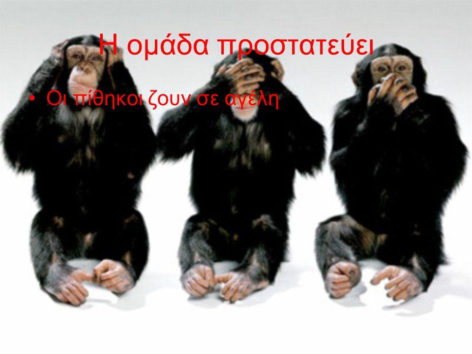 Η ομάδα προστατεύει Οι πίθηκοι ζουν σε αγέλη