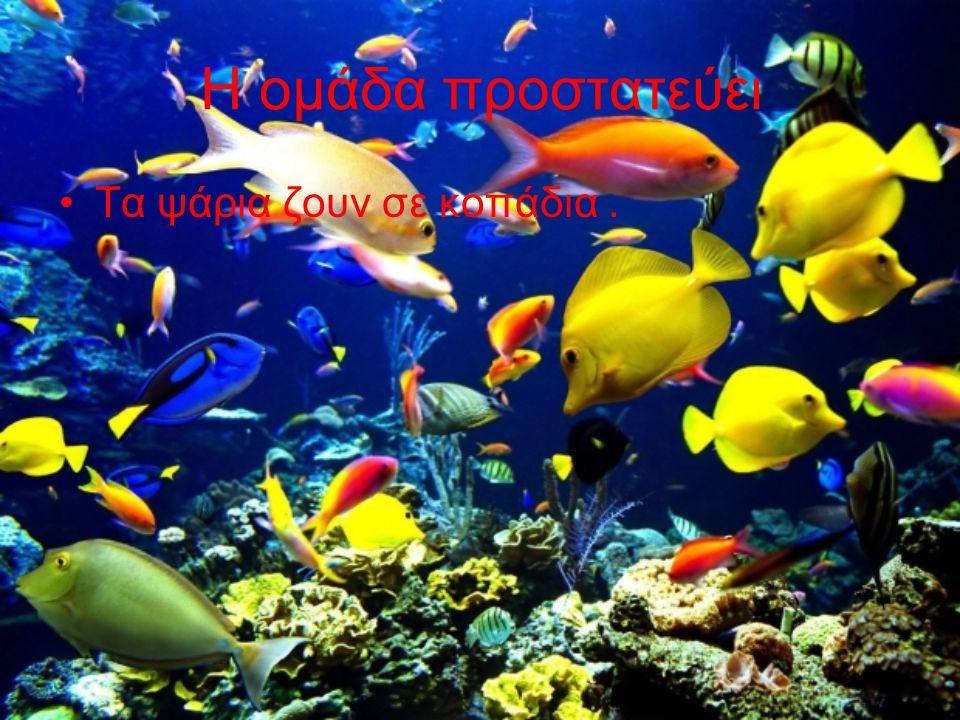 Η ομάδα προστατεύει Τα ψάρια ζουν σε κοπάδια.