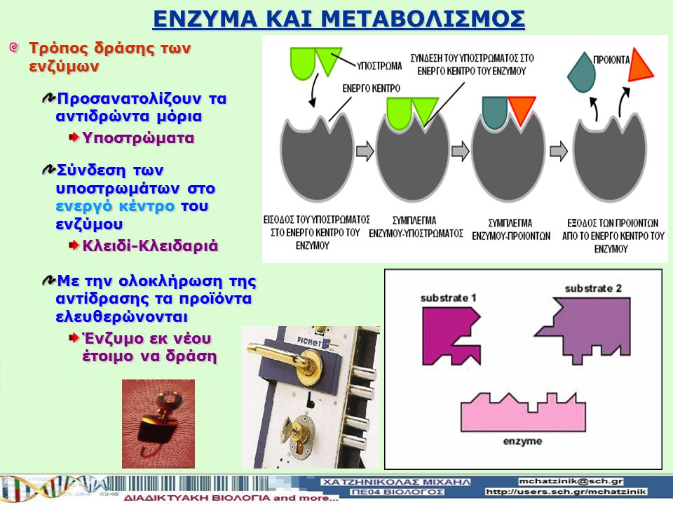 Τρόπος δράσης των ενζύμων Προσανατολίζουν τα αντιδρώντα μόρια Υποστρώματα Σύνδεση των υποστρωμάτων στο ενεργό κέντρο του ενζύμου Κλειδί-Κλειδαριά Με την ολοκλήρωση της αντίδρασης τα προϊόντα ελευθερώνονται Ένζυμο εκ νέου έτοιμο να δράση ΕΝΖΥΜΑ ΚΑΙ ΜΕΤΑΒΟΛΙΣΜΟΣ