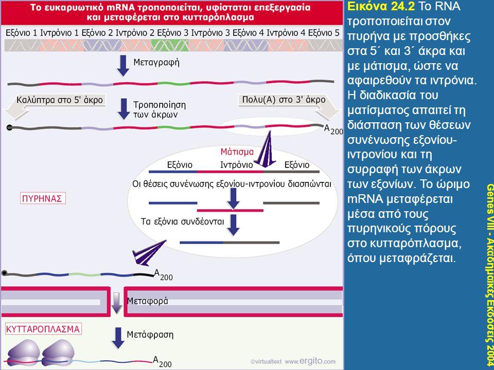 Genes VIII - Ακαδημαϊκές Εκδόσεις 2004 Εικόνα 24.2 Το RNA τροποποιείται στον πυρήνα με προσθήκες στα 5΄ και 3΄ άκρα και με μάτισμα, ώστε να αφαιρεθούν