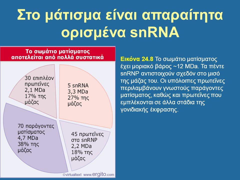 Εικόνα 24.8 Το σωμάτιο ματίσματος έχει μοριακό βάρος ~12 MDa. Τα πέντε snRNP αντιστοιχούν σχεδόν στο μισό της μάζας του. Οι υπόλοιπες πρωτεΐνες περιλα