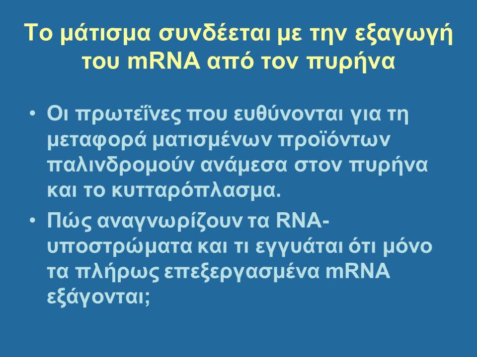 Το μάτισμα συνδέεται με την εξαγωγή του mRNA από τον πυρήνα Οι πρωτεΐνες που ευθύνονται για τη μεταφορά ματισμένων προϊόντων παλινδρομούν ανάμεσα στον