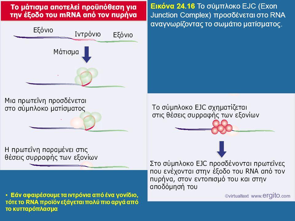 Εάν αφαιρέσουμε τα ιντρόνια από ένα γονίδιο, τότε το RNA προϊόν εξάγεται πολύ πιο αργά από το κυτταρόπλασμα Εικόνα 24.16 Το σύμπλοκο EJC (Exon Junctio