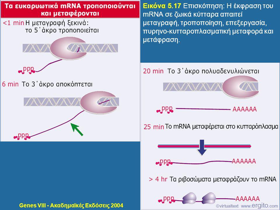 Genes VIII - Ακαδημαϊκές Εκδόσεις 2004 Εικόνα 5.17 Επισκόπηση: Η έκφραση του mRNA σε ζωικά κύτταρα απαιτεί μεταγραφή, τροποποίηση, επεξεργασία, πυρηνο