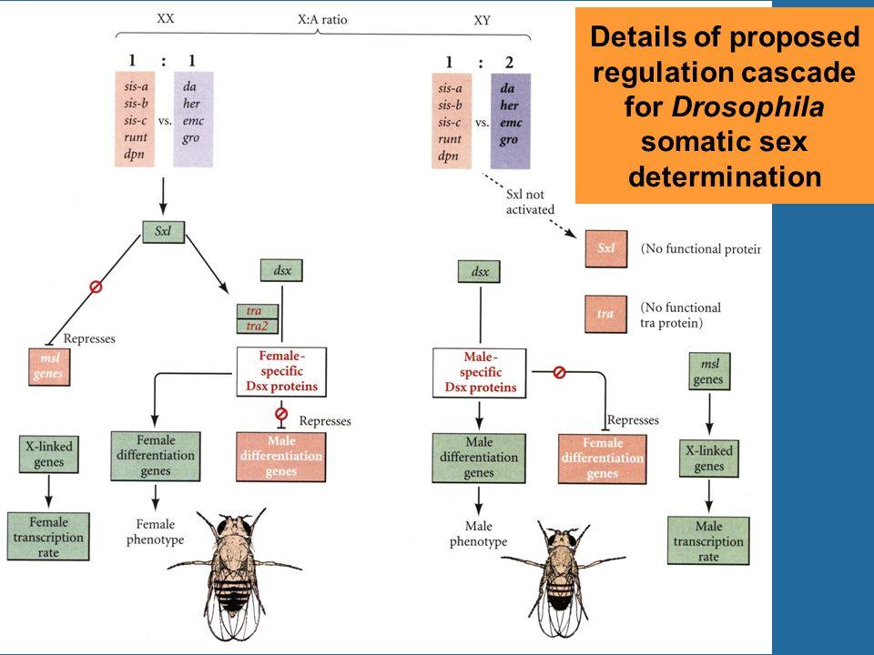 Details of proposed regulation cascade for Drosophila somatic sex determination