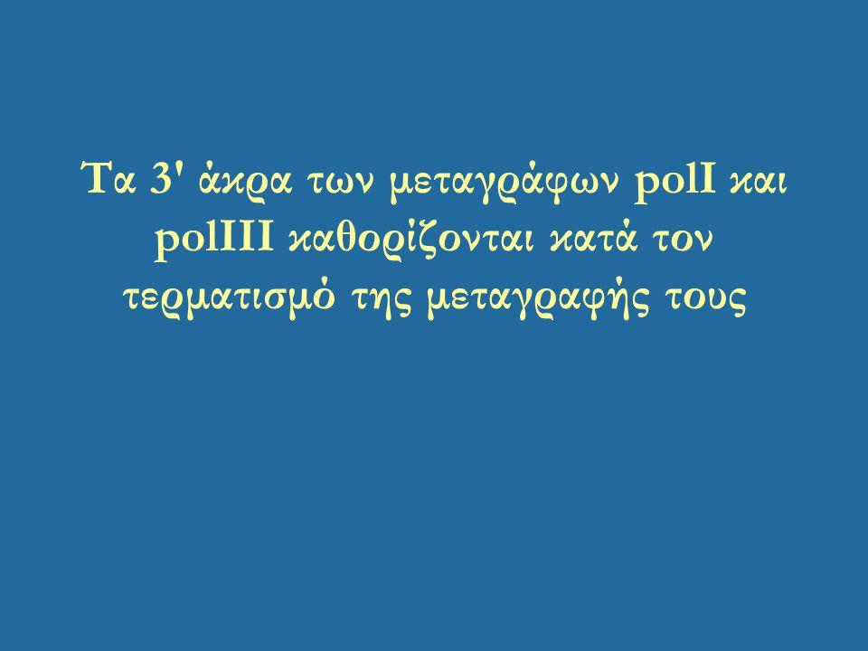 Τα 3' άκρα των μεταγράφων polI και polIΙI καθορίζονται κατά τον τερματισμό της μεταγραφής τους