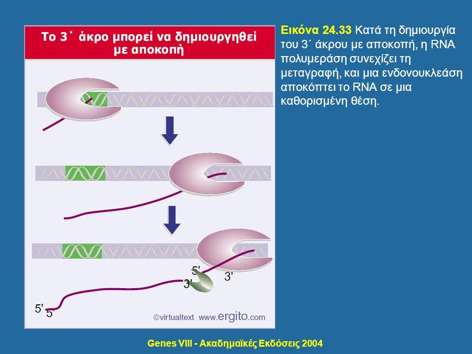 Genes VIII - Ακαδημαϊκές Εκδόσεις 2004 Εικόνα 24.33 Κατά τη δημιουργία του 3΄ άκρου με αποκοπή, η RNA πολυμεράση συνεχίζει τη μεταγραφή, και μια ενδον