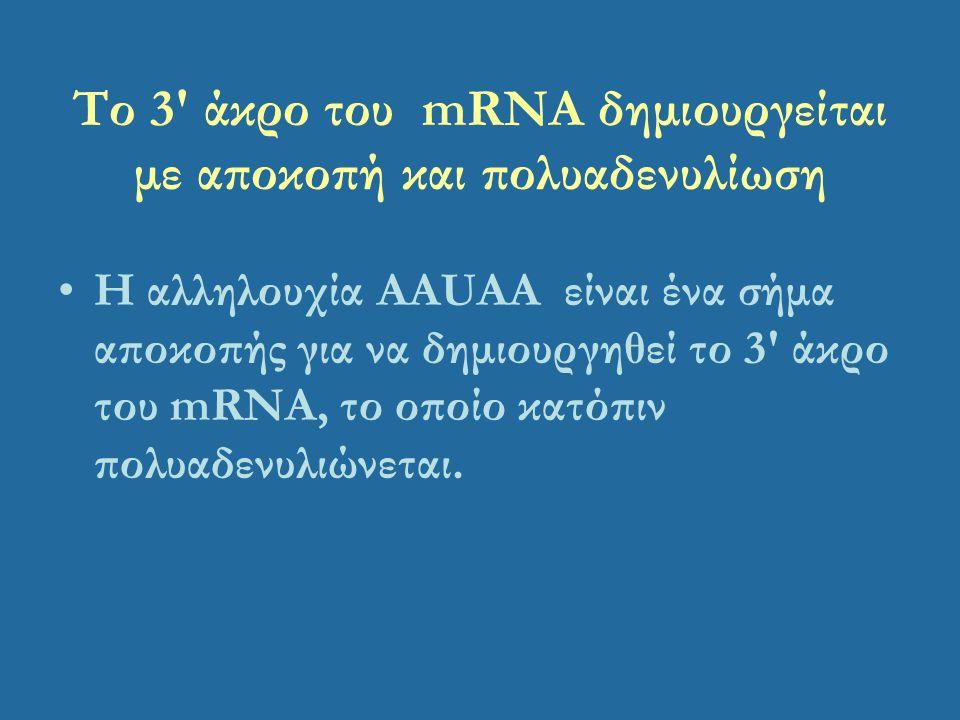 Το 3' άκρο του mRNA δημιουργείται με αποκοπή και πολυαδενυλίωση Η αλληλουχία AAUAA είναι ένα σήμα αποκοπής για να δημιουργηθεί το 3' άκρο του mRNA, το