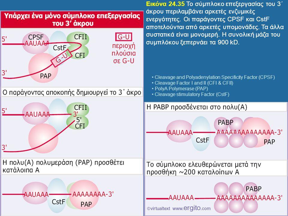 Εικόνα 24.35 Το σύμπλοκο επεξεργασίας του 3΄ άκρου περιλαμβάνει αρκετές ενζυμικές ενεργότητες. Οι παράγοντες CPSF και CstF αποτελούνται από αρκετές υπ