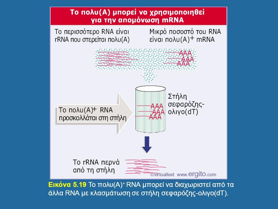 Εικόνα 5.19 Το πολυ(Α) + RNA μπορεί να διαχωριστεί από τα άλλα RNA με κλασμάτωση σε στήλη σεφαρόζης-ολιγο(dT).