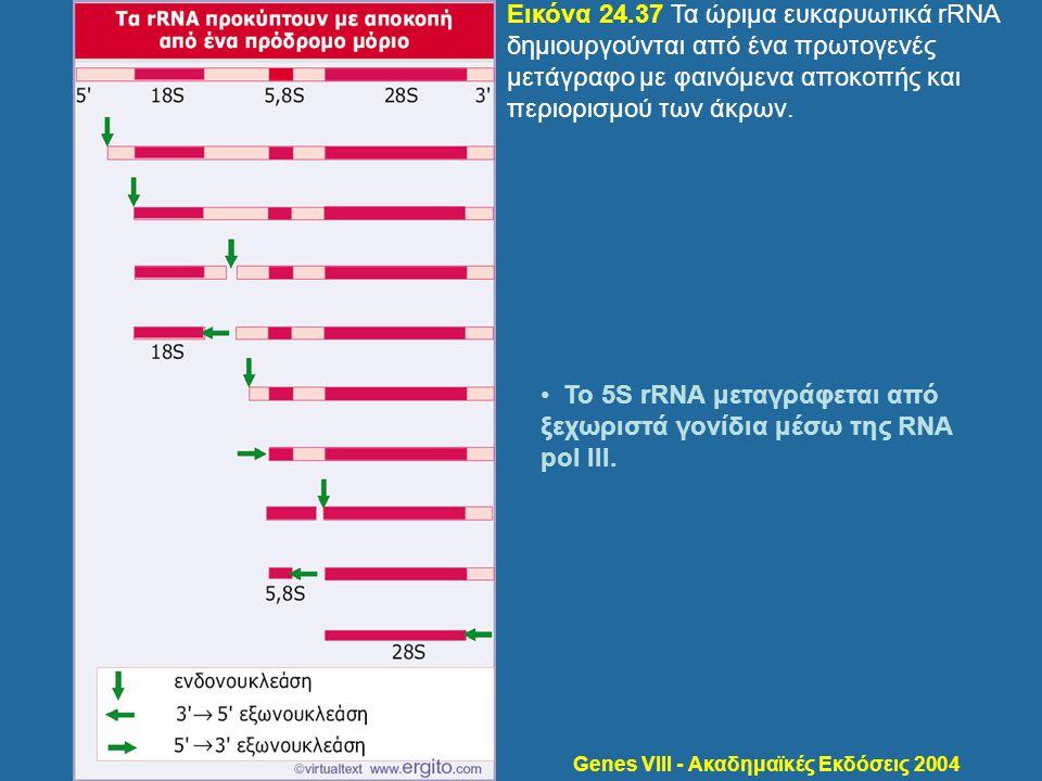 Genes VIII - Ακαδημαϊκές Εκδόσεις 2004 Εικόνα 24.37 Τα ώριμα ευκαρυωτικά rRNA δημιουργούνται από ένα πρωτογενές μετάγραφο με φαινόμενα αποκοπής και πε