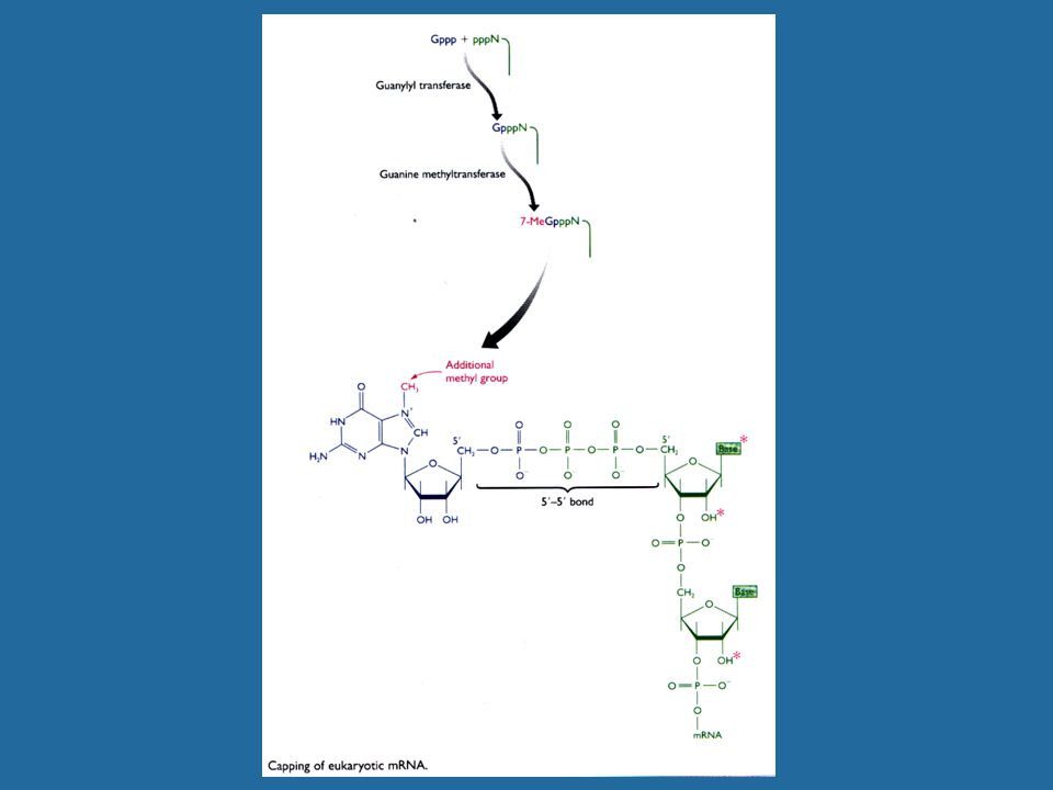 Genes VIII - Ακαδημαϊκές Εκδόσεις 2004 Εικόνα 24.37 Τα ώριμα ευκαρυωτικά rRNA δημιουργούνται από ένα πρωτογενές μετάγραφο με φαινόμενα αποκοπής και περιορισμού των άκρων.