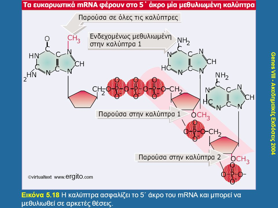 Genes VIII - Ακαδημαϊκές Εκδόσεις 2004 Εικόνα 5.18 Η καλύπτρα ασφαλίζει το 5΄ άκρο του mRNA και μπορεί να μεθυλιωθεί σε αρκετές θέσεις.