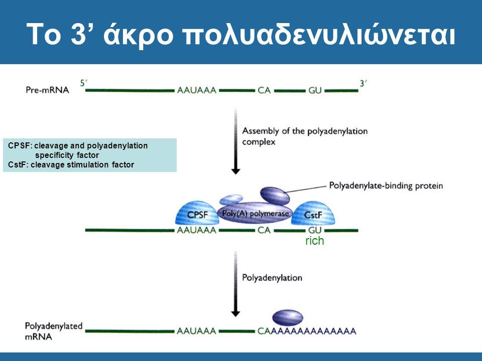 Το 3' άκρο πολυαδενυλιώνεται rich CPSF: cleavage and polyadenylation specificity factor CstF: cleavage stimulation factor