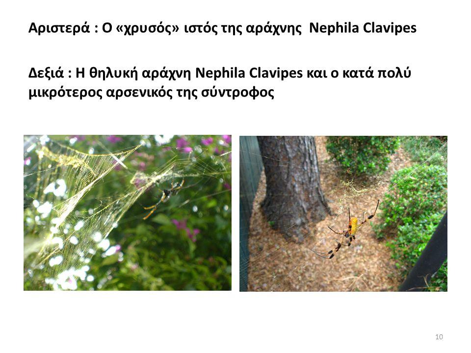 Αριστερά : Ο «χρυσός» ιστός της αράχνης Nephila Clavipes Δεξιά : Η θηλυκή αράχνη Nephila Clavipes και ο κατά πολύ μικρότερος αρσενικός της σύντροφος 10
