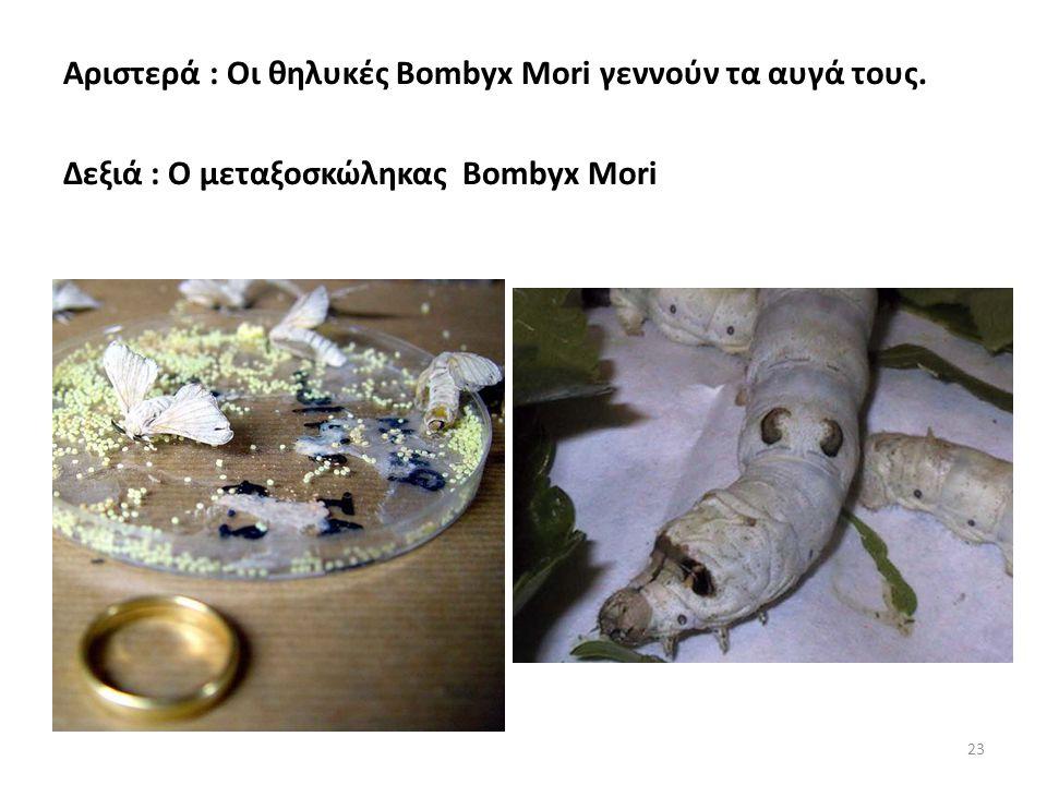 Αριστερά : Οι θηλυκές Bombyx Mori γεννούν τα αυγά τους. Δεξιά : Ο μεταξοσκώληκας Bombyx Mori 23