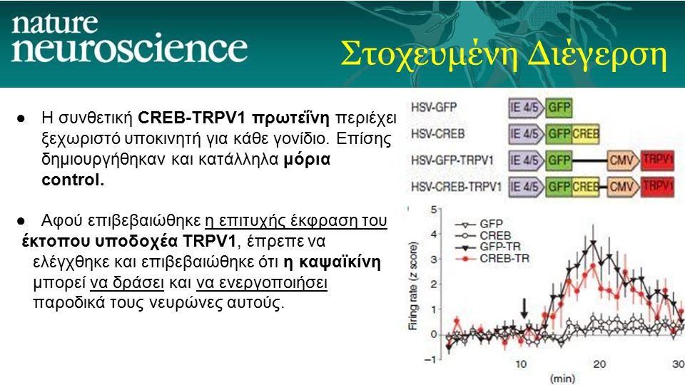 Στοχευμένη Διέγερση ●Η συνθετική CREB-TRPV1 πρωτεΐνη περιέχει ξεχωριστό υποκινητή για κάθε γονίδιο. Επίσης δημιουργήθηκαν και κατάλληλα μόρια control.