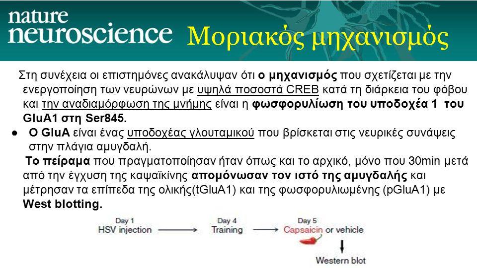 Μοριακός μηχανισμός Στη συνέχεια οι επιστημόνες ανακάλυψαν ότι ο μηχανισμός που σχετίζεται με την ενεργοποίηση των νευρώνων με υψηλά ποσοστά CREB κατά τη διάρκεια του φόβου και την αναδιαμόρφωση της μνήμης είναι η φωσφορυλίωση του υποδοχέα 1 του GluA1 στη Ser845.