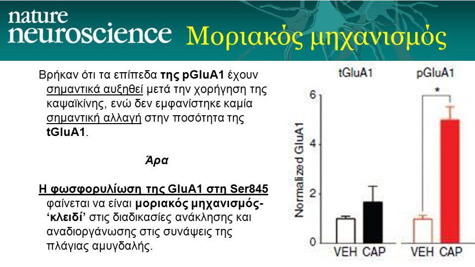 Μοριακός μηχανισμός Βρήκαν ότι τα επίπεδα της pGluA1 έχουν σημαντικά αυξηθεί μετά την χορήγηση της καψαϊκίνης, ενώ δεν εμφανίστηκε καμία σημαντική αλλ