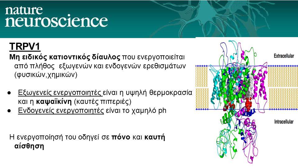 TRPV1 Μη ειδικός κατιοντικός δίαυλος που ενεργοποιείται από πλήθος εξωγενών και ενδογενών ερεθισμάτων (φυσικών,χημικών) ●Εξωγενείς ενεργοποιητές είναι η υψηλή θερμοκρασία και η καψαϊκίνη (καυτές πιπεριές) ●Ενδογενείς ενεργοποιητές είναι το χαμηλό ph H ενεργοποίησή του οδηγεί σε πόνο και καυτή αίσθηση