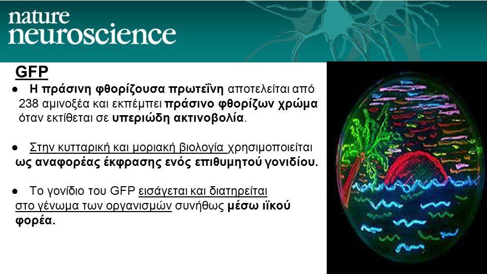 GFP ●H πράσινη φθορίζουσα πρωτεΐνη αποτελείται από 238 αμινοξέα και εκπέμπει πράσινο φθορίζων χρώμα όταν εκτίθεται σε υπεριώδη ακτινοβολία. ●Στην κυττ
