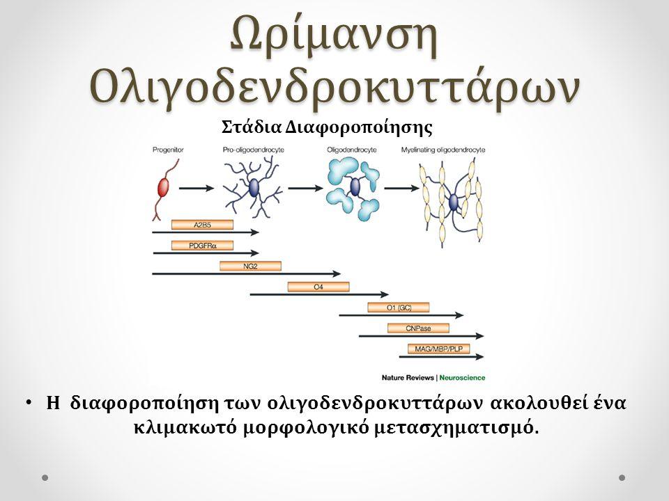 Ωρίμανση Ολιγοδενδροκυττάρων H διαφοροποίηση των ολιγοδενδροκυττάρων ακολουθεί ένα κλιμακωτό μορφολογικό μετασχηματισμό. Στάδια Διαφοροποίησης