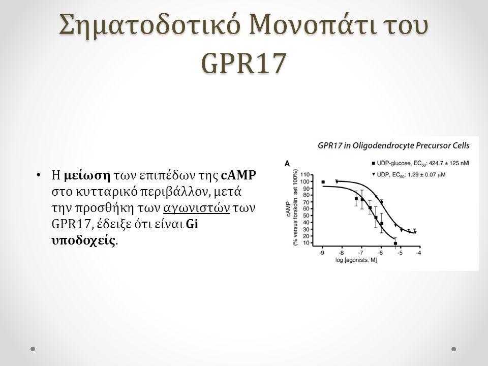 Σηματοδοτικό Μονοπάτι του GPR17 Η μείωση των επιπέδων της cAMP στο κυτταρικό περιβάλλον, μετά την προσθήκη των αγωνιστών των GPR17, έδειξε ότι είναι Gi υποδοχείς.