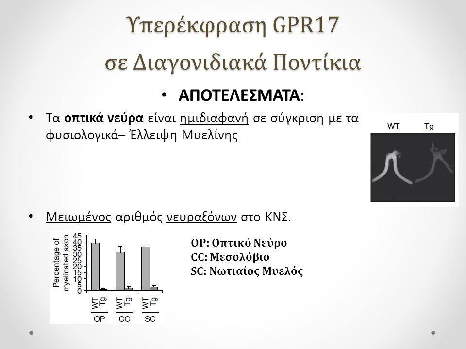Υπερέκφραση GPR17 σε Διαγονιδιακά Ποντίκια ΑΠΟΤΕΛΕΣΜΑΤΑ: Τα οπτικά νεύρα είναι ημιδιαφανή σε σύγκριση με τα φυσιολογικά– Έλλειψη Μυελίνης Μειωμένος αριθμός νευραξόνων στο ΚΝΣ.